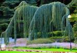 Айвазовское - атласский кедр